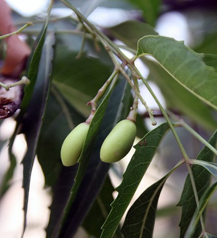 Neem_fruits_Wiki-Hayavadhan-CC-BY-SA-3.0